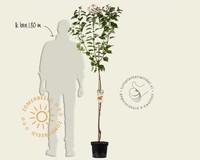 Prunus armeniaca 'Bergeron' - halfstam