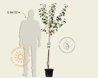 Prunus domestica 'Czar' - halfstam