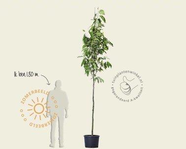 Klik hier om Magnolia 'Sentinel' te kopen