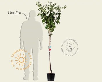 Prunus domestica 'Victoria' - halfstam
