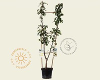 Pyrus communis DUO 'Conference' & 'Williams'