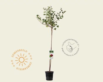 Ribes uva-crispa 'Hinnonmaki Rod' - 90 cm stam