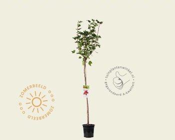 Ribes rubrum 'Jonkheer van Tets' - 90 cm stam
