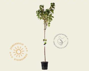 Ribes nigrum 'Titania' - 90 cm stam