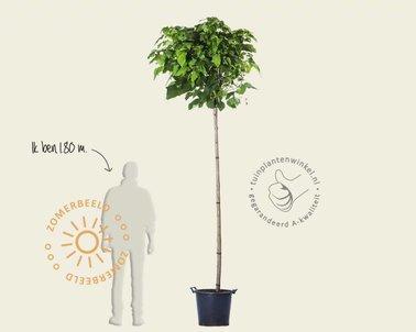 Klik hier om Catalpa bignonioides 'Nana' - 225 cm stam te kopen