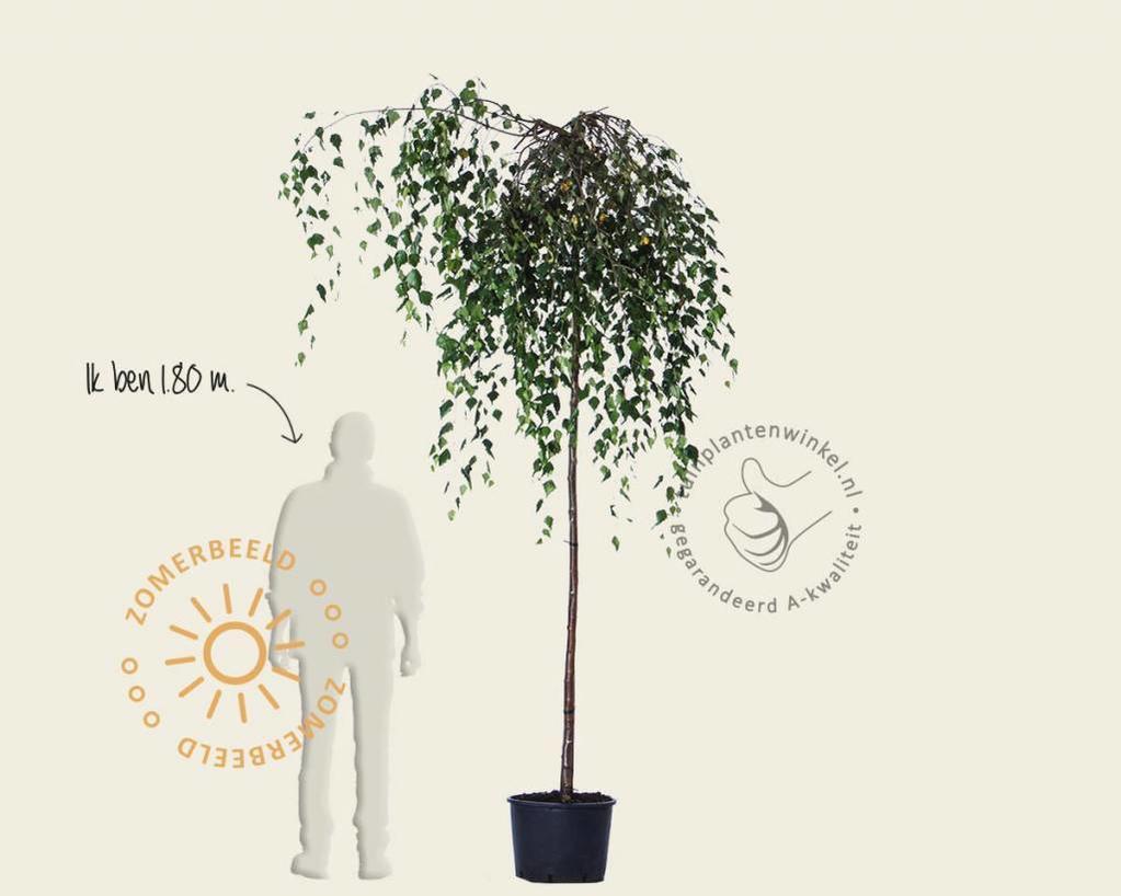 Betula pendula 'Youngii' - 225 cm stam
