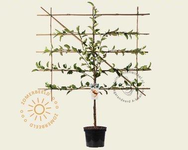 Klik hier om Malus domestica 'Elstar' - Lei-vorm te kopen