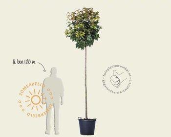 Acer platanoides 'Globosum' - 200 cm stam
