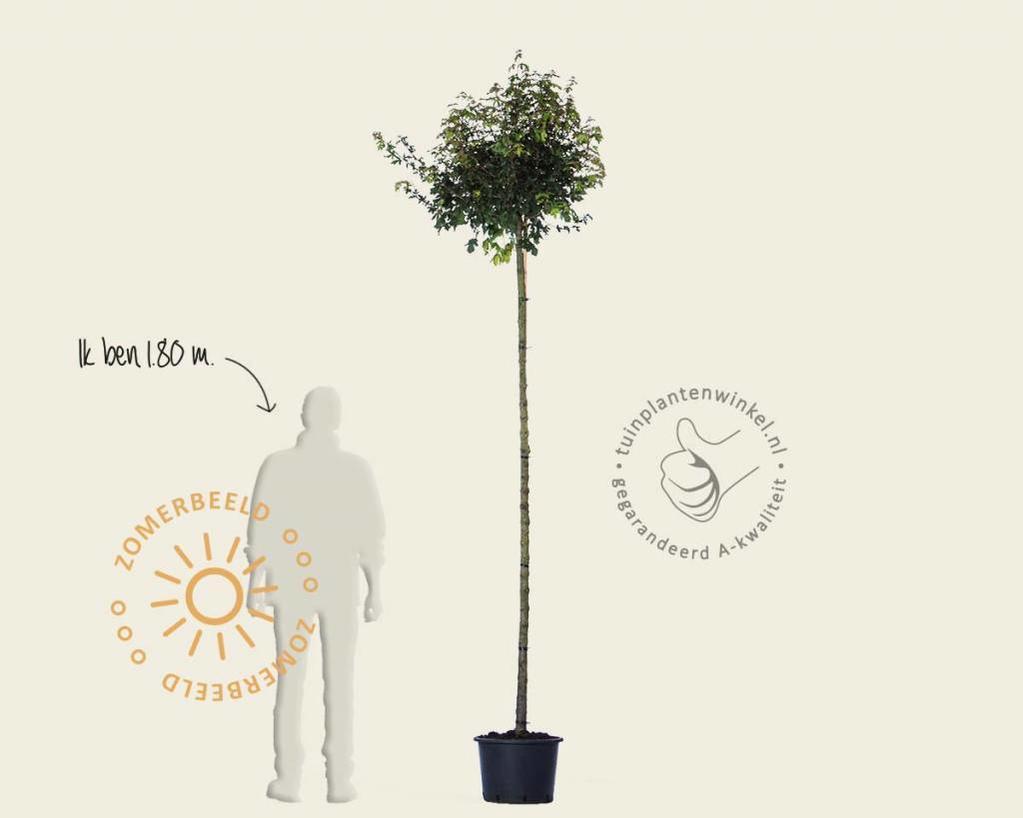Acer campestre 'Nanum' - 225 cm stam
