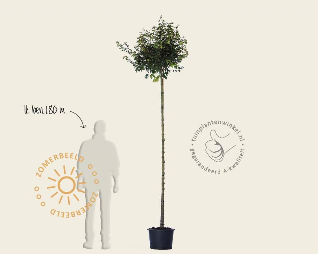 Boom Kleine Tuin : Bomen voor de kleine tuin vertrouwd online kopen