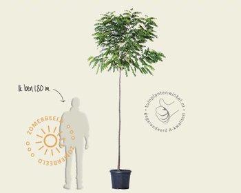 Robinia pseudo-acacia 'Umbraculifera' - 200 cm stam