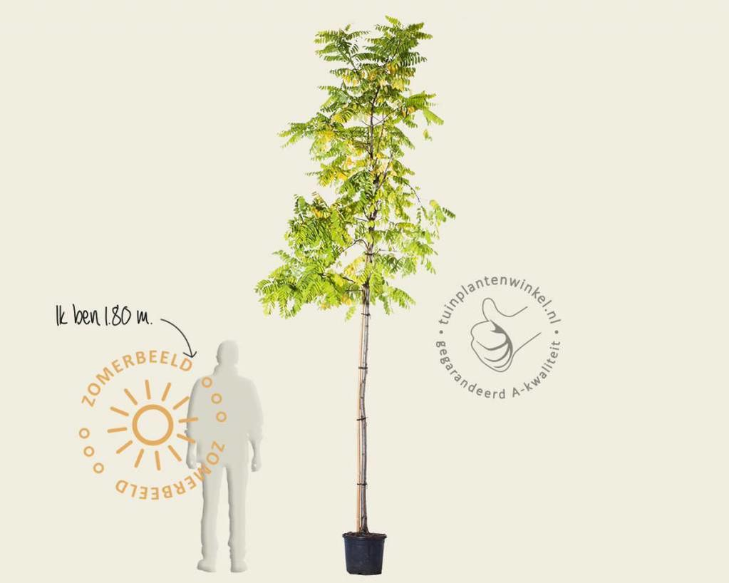 Robinia pseudo-acacia 'Frisia'