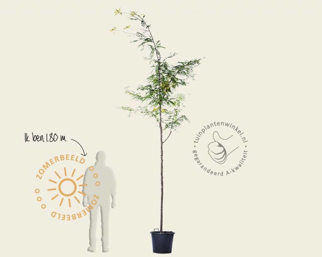 Gleditsia triacanthos 'Sunburst'