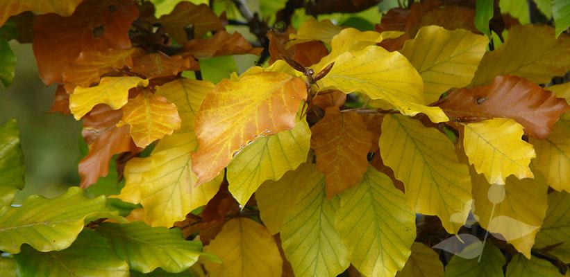 Fagus sylvatica verkleurt in de herfst naar warme gele en oranje tinten.