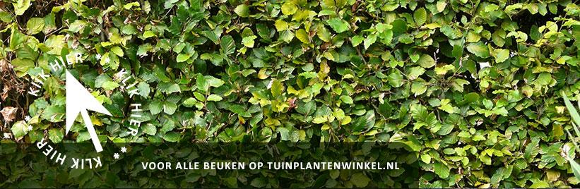 Fagus sylvatica kopen bij tuinplantenwinkel.nl
