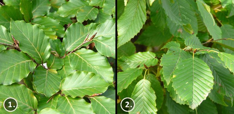 Fagus sylvatica verkleurt in de herfst naar warme gele en oranje tinten. Daarna kleurt het blad warm-bruin en blijft deze aan de plant hangen tot in april.