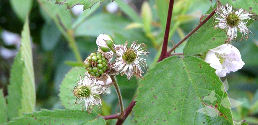 Rubus fruticosus 'Black Satin' in bloei