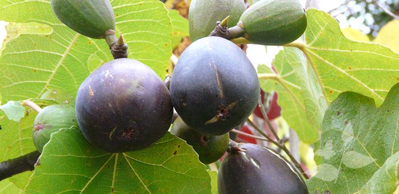 Ficus carica op tuinplantenwinkel.nl