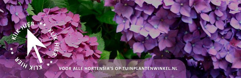Klik hier voor alle hortensia's