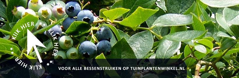 Kleinfruit en bessenstruiken kopen bij tuinplantenwinkel.nl