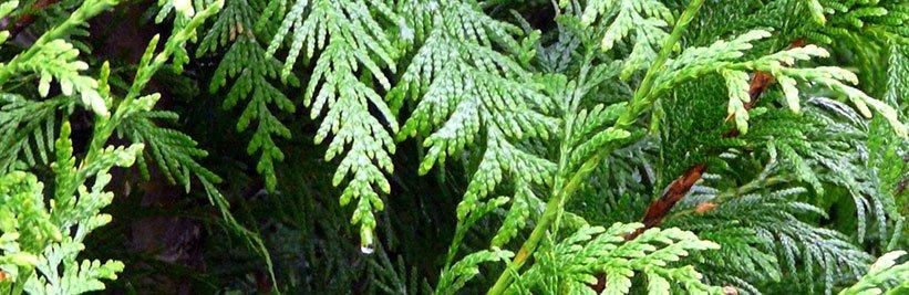 Haagconiferen online kopen bij tuinplantenwinkel