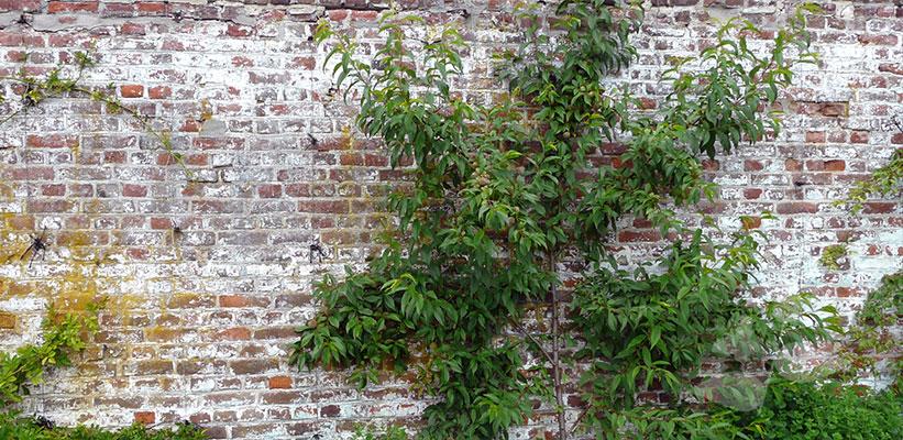 Fruitbomen leiden tegen een muur