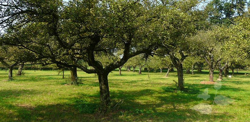 Een oude fruitgaard met hoogstam fruitbomen