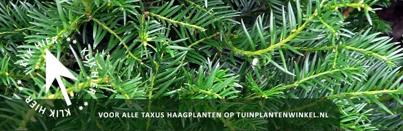 Klik hier voor alle taxus haagplanten