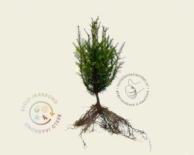 Klik hier om de Taxus baccata 030/040 - blote wortel te kopen