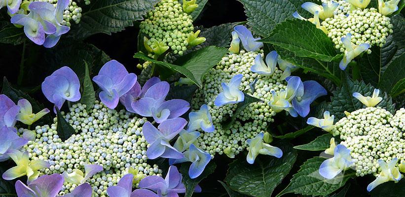 Hydrangea macrophylla Teller hybride