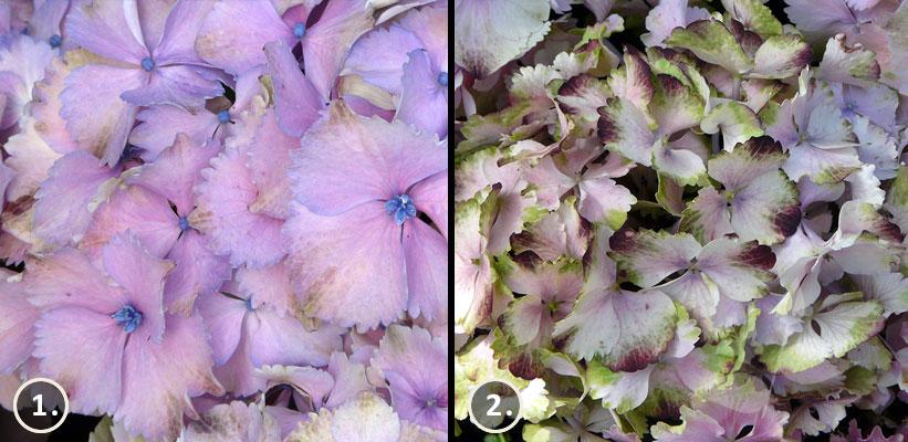 Verbloeiende Hydrangea macrophylla 'Magical Harmonny'