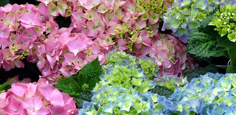 Hydrangea macrophylla hybride online kopen