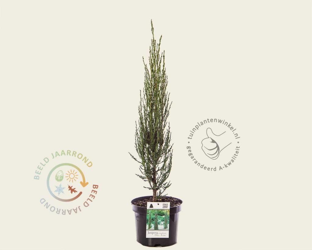 Juniperus scopulorum 'Blue Arrow' 040/50
