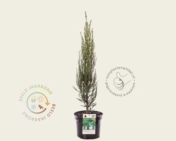 Juniperus scopulorum 'Blue Arrow' 040/50