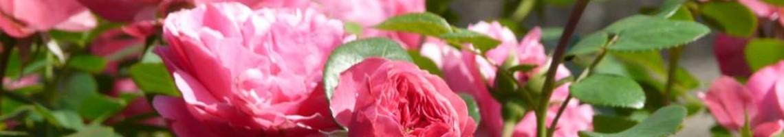 Alle rozen