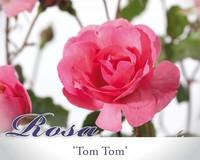 Rosa 'Tom Tom'