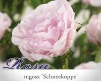 Rosa rugosa 'Schneekoppe'