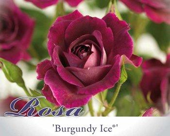 Rosa 'Burgundy Ice'