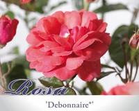 Rosa 'Debonnaire'