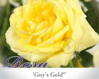 Rosa 'Guy's Gold'