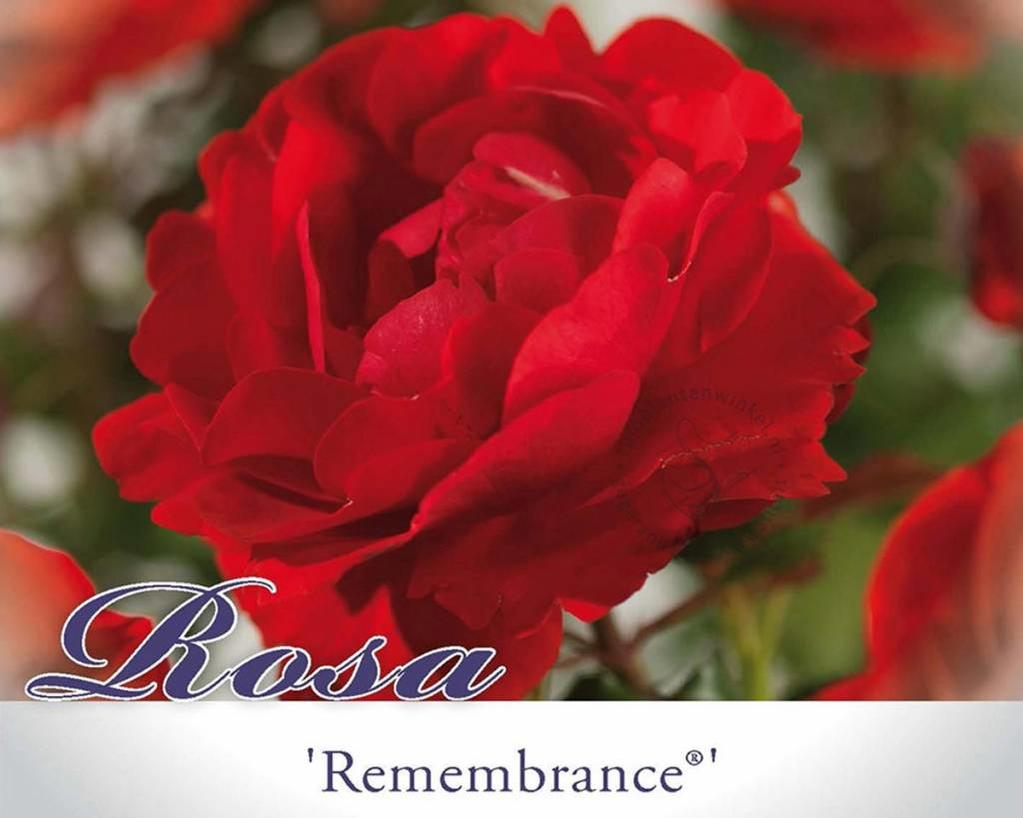 Rosa 'Remembrance'