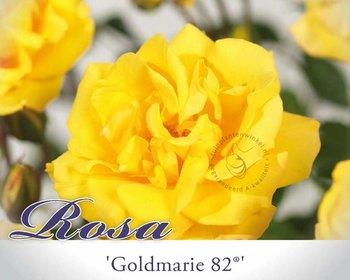 Rosa 'Goldmarie 82'
