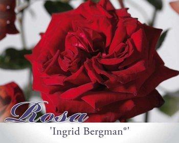 Rosa 'Ingrid Bergman'
