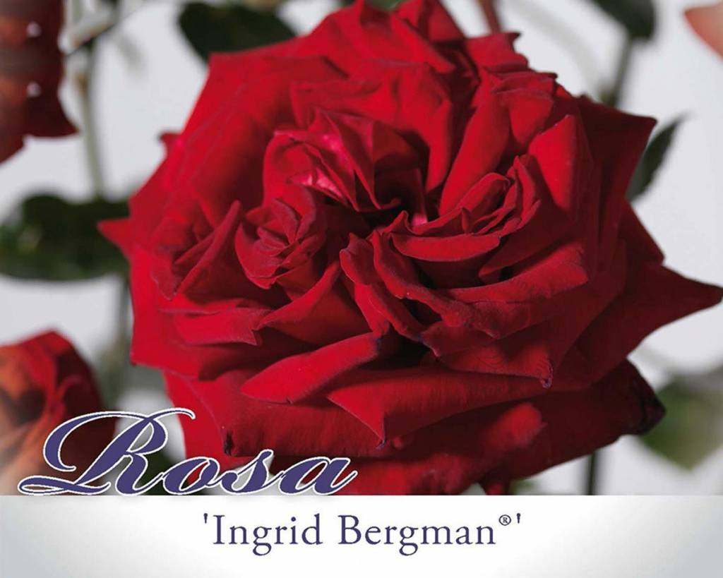 rosa 39 ingrid bergman 39 grootbloemige roos vertrouwd. Black Bedroom Furniture Sets. Home Design Ideas