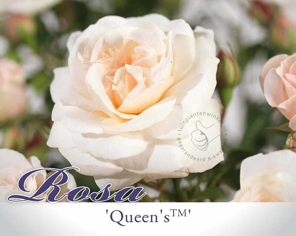 Rosa 'Queen's Palace'
