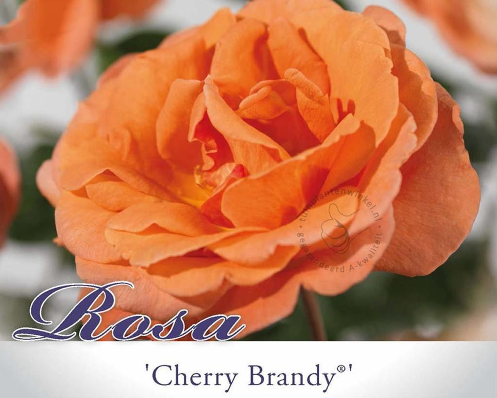 Rosa 'Cherry Brandy'