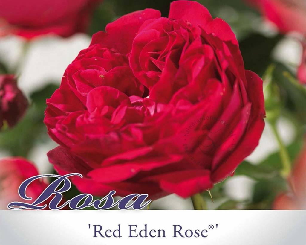 rosa 39 red eden rose 39 grootbloemige roos vertrouwd. Black Bedroom Furniture Sets. Home Design Ideas