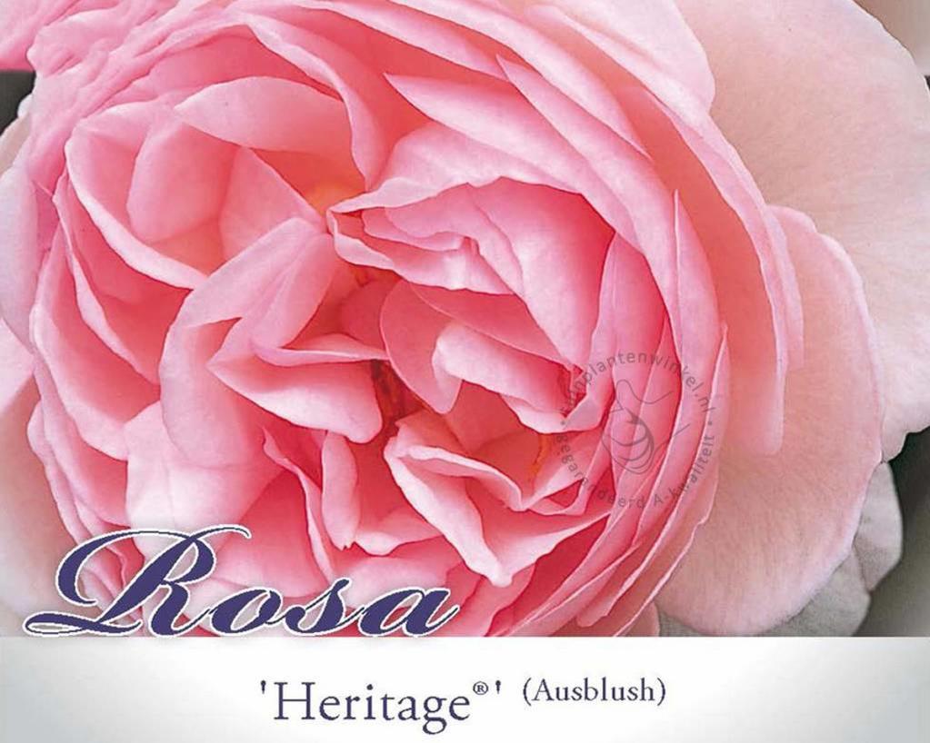 Rosa 'Heritage'