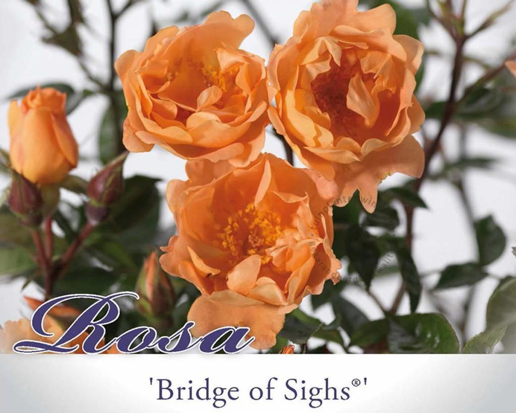 Rosa 'Bridge of Sighs'