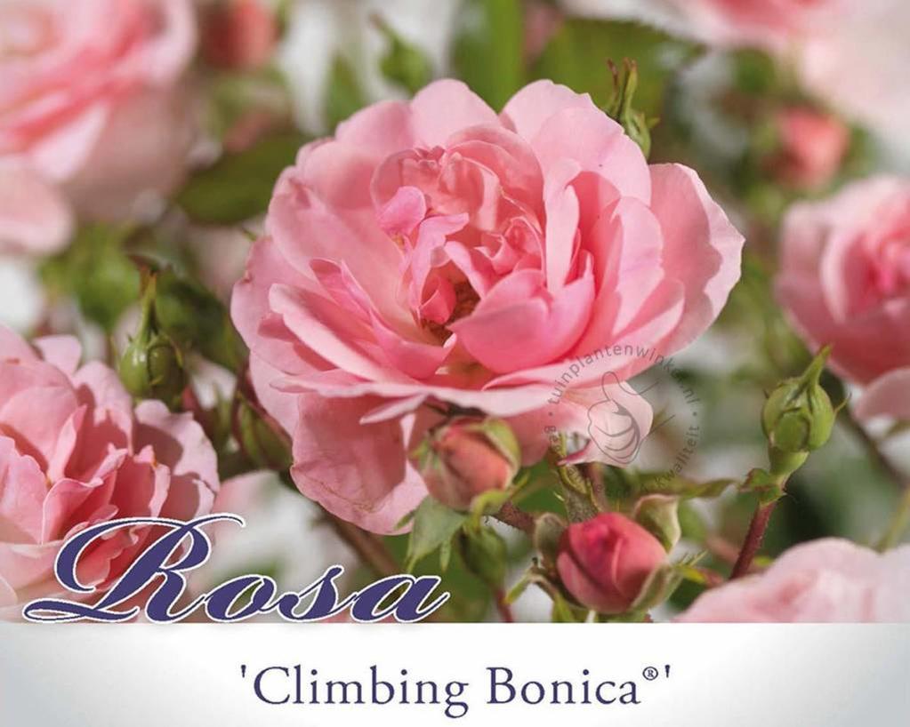 Rosa 'Climbing Bonica'
